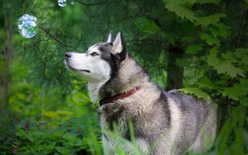 природа, лес, лето, собака, хаски, ошейник