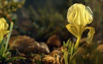 природа, макро, цветок, лепесток, ирис