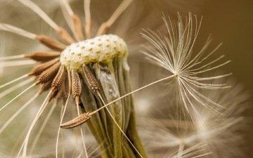 природа, макро, цветок, одуванчик, семена, пушинки, былинки