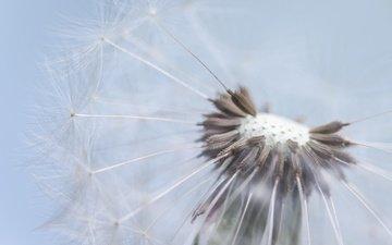 природа, макро, цветок, одуванчик, пушинки, былинки