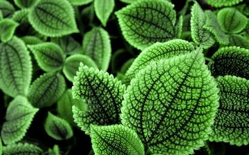 nature, plants, leaves, macro, background, green leaves