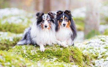 природа, парочка, собаки, шелти, шетландская овчарка