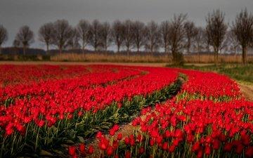 цветы, деревья, природа, поле, тюльпаны