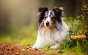 природа, портрет, взгляд, собака, гриб, боке, шелти, шетландская овчарка