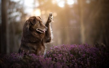 цветы, природа, собака, друг, лапа, финн, dackelpuppy