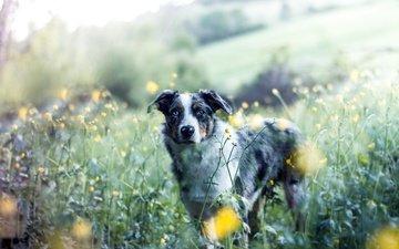 цветы, природа, собака, друг, австралийская овчарка, аусси