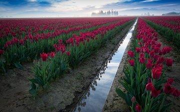небо, природа, цветение, туман, весна, тюльпаны, плантация