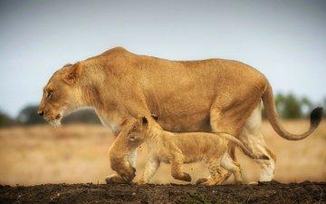 walk, cats, lions, lioness, lion, cub