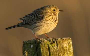 bird, beak, tail, meadow pipit