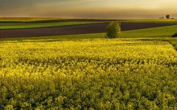 цветы, поля, горизонт, желтые, рапс