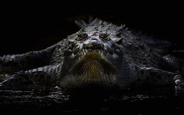 черный фон, крокодил, рептилия, пресмыкающееся, острорылый крокодил