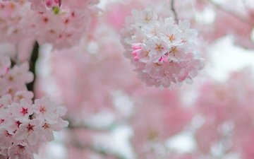 flowering, garden, spring, cherry, inflorescence