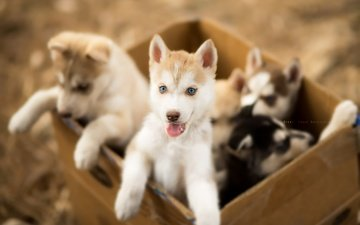 хаски, щенки, собаки, ящик, andrés lópez