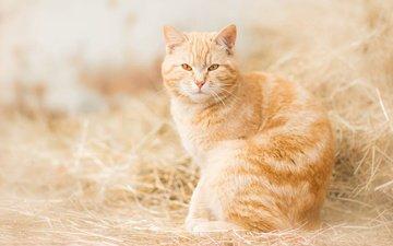 сено, кошка, взгляд, рыжая, рыжий кот