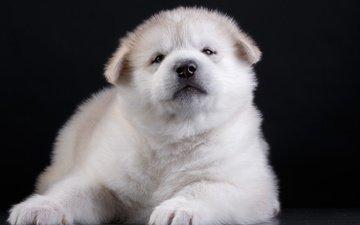 глаза, мордочка, взгляд, собака, щенок, черный фон, акита