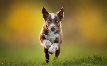 puppy, running, brown, the border collie, tissaia