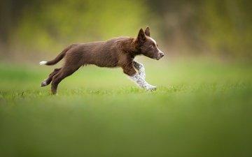 puppy, weed, running, brown, the border collie, tissaia