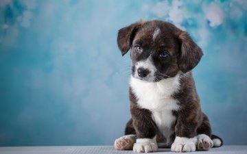 глаза, мордочка, взгляд, собака, щенок