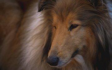 глаза, морда, шерсть, взгляд, собака, друг, колли