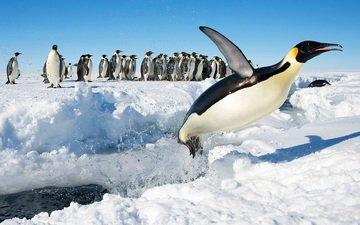 снег, прыжок, птицы, антарктида, пингвины, императорский пингвин