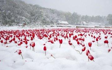 цветы, деревья, снег, дома, тюльпаны