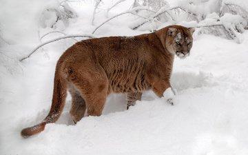 snow, winter, cat, tail, puma