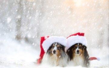 снег, зима, парочка, собаки, шелти, колпаки, шетландская овчарка