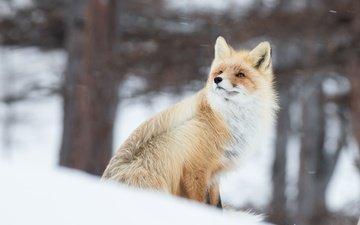снег, зима, рыжая, лиса, лисица, животное, ветер, боке