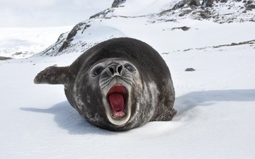 snow, winter, mustache, language, mouth, seal, cat, roar