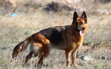 dog, language, the steppe, german shepherd