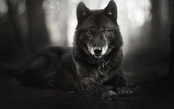 eyes, face, look, black and white, dog, black, izzy