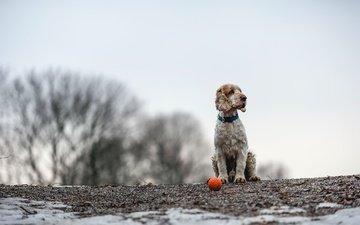 собака, друг, мяч, спаниель, кокер-спаниель, christina sepúlveda