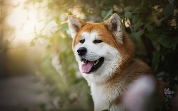 dog, red, language, ame, shiba inu