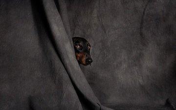 глаза, мордочка, взгляд, собака, ткань, голова