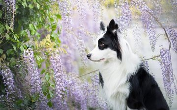 глаза, морда, цветы, взгляд, собака, профиль, весна, друг, глициния, бордер-колли