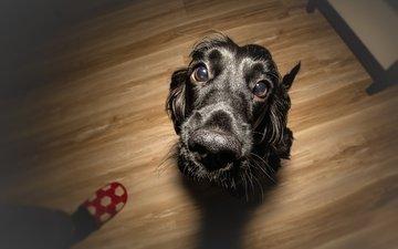 глаза, мордочка, взгляд, собака, щенок, спаниель