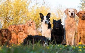 трава, деревья, одуванчики, такса, лабрадор, собаки, спаниель, золотистый ретривер, сеттер, бордер-колли