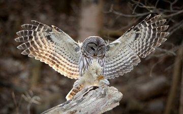 сова, крылья, птица, перья, неясыть