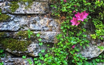 цветы, листья, стена, камень, мох, азалия