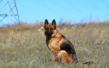 морда, взгляд, собака, степь, немецкая овчарка, овчарка