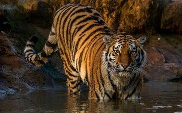 тигр, хищник, полосатый, мокрый, в воде