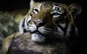 tiger, eyes, face, look, wild cat