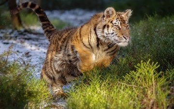 tiger, jump, wild cat, the amur tiger