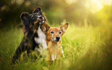 трава, лето, собаки, боке, шелти, zelda, dackelpuppy, toby