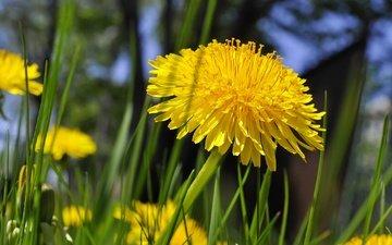цветы, трава, одуванчики, желтые