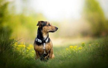 трава, собака, одуванчики, ошейник, фиби, dackelpuppy