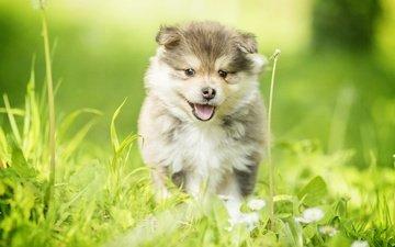 трава, собака, щенок, прогулка, финский лаппхунд