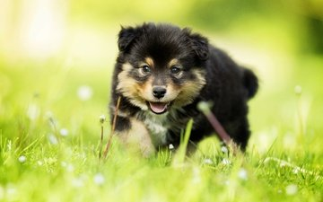 трава, взгляд, собака, щенок, малыш, боке, финский лаппхунд