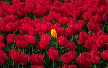 flowers, spring, tulips, a lot, red tulips, yellow tulip