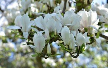flowering, spring, white, magnolia